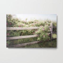 Fence Draped in Rosa Rugosa Metal Print