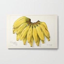 Bananas (Musa) (1907) by Amada Almira Newton. Metal Print