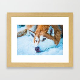 Sleepy Orange Siberian Husky (Color) Framed Art Print