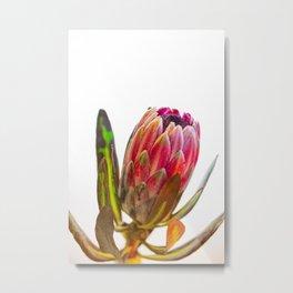 Protea Flower III Metal Print