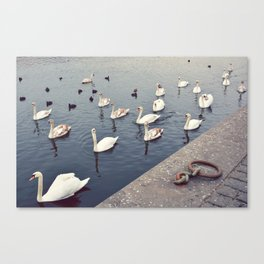 Swans, Prague. Canvas Print