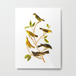 Little Tyrant Flycatcher, Small-headed Flycatcher, Blue Mountain Warbler, Bartram's Vireo, Short-leg Metal Print