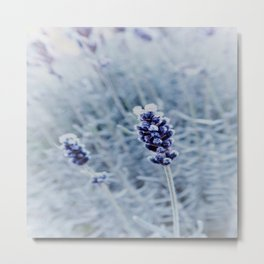 lavender with white frost Metal Print
