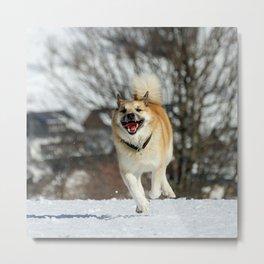 Icelandic Sheepdog 016 Metal Print