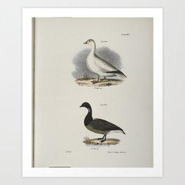 1373 238 The Snow Goose (Anser hyperboreus) 239 The Brant (Anser bernicla)26 Art Print