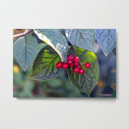 Poison or not : Red berries Metal Print