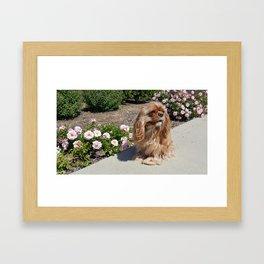 Ruby Cavalier King Charles Spaniel Framed Art Print