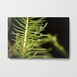 Spruce branch with drops Metal Print