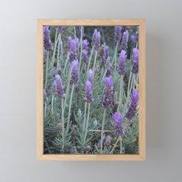Lavanda morningg Framed Mini Art Print