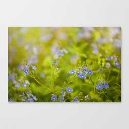 Beautiful blue speedwell flowerets Canvas Print