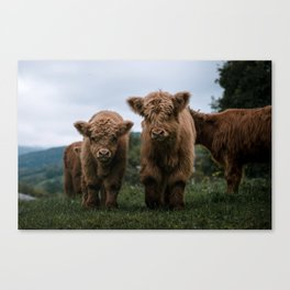 Scottish Highland Cattle Calves - Babies playing II Canvas Print