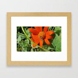 Honey Bee on an Orange Flower Framed Art Print