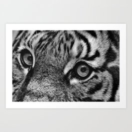 Eyes of the Tiger III Art Print