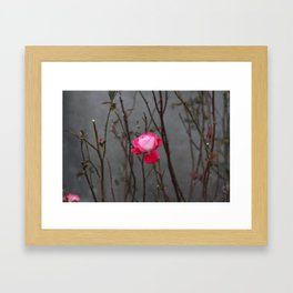 Bi-color rose Framed Art Print
