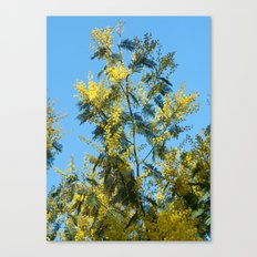 Yellow mimosa flowers 1257 Canvas Print