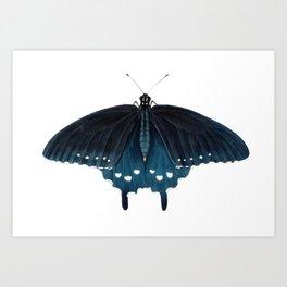 Pipevine Swallowtail (Battus philenor) Art Print