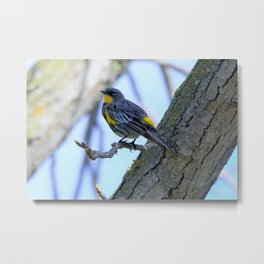 Pretty Yellow Rumped Warbler by Reay of Light Metal Print