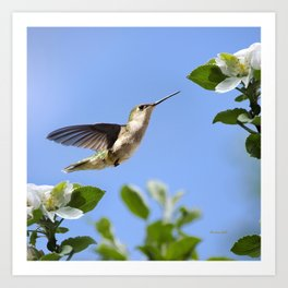 Spring Hummingbird Art Print