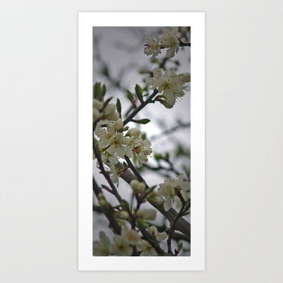 Prunus Domestica Art Print