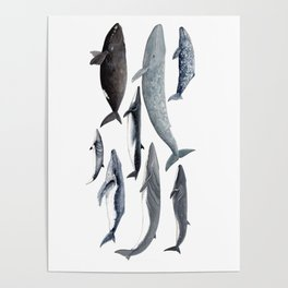 Whales and right whale Poster