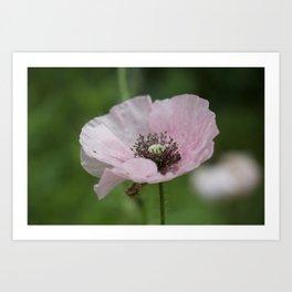 Shakespeare Garden 10. Pink Poppy Art Print