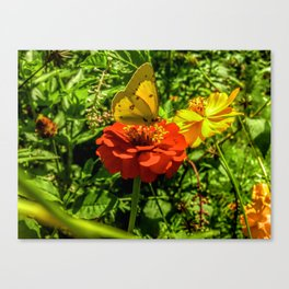 Sulfur Butterfly In The Flower Garden Canvas Print