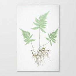 Botanical Beech Fern Canvas Print