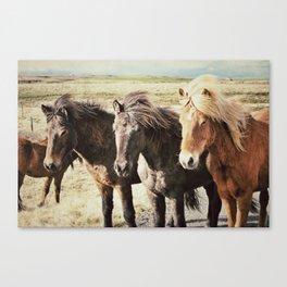 Wild Icelandic Ponies Canvas Print