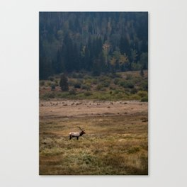 Elk in Rocky Mountain National Park Canvas Print