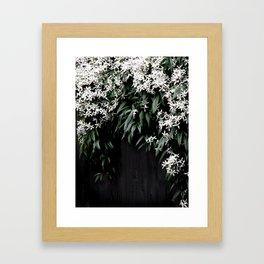 Clematis Armandii Framed Art Print