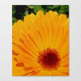 Orange Pot Marigold Canvas Print