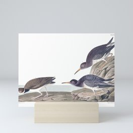 Purple Sandpiper by John Audubon Mini Art Print