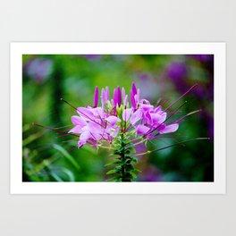 Purple Spider Flower Art Print