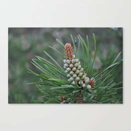 Pine Cone In The Making Canvas Print