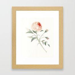 Rose of No Man's Land Framed Art Print