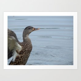 Duck take-off Art Print