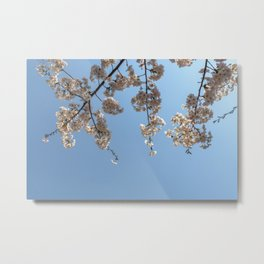 Cherry Blossoms from Below Metal Print