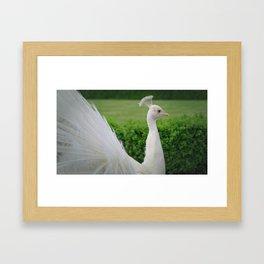 White Peacock in Profile Framed Art Print