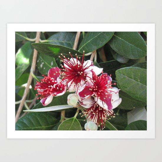 Fejoja bloom Art Print