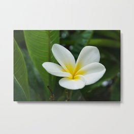 Naturally Frangipani Flower Metal Print