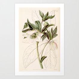 Helleborus orientalis Art Print