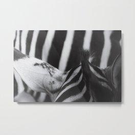 Zebra - Horse Photography Metal Print