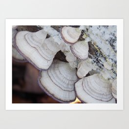 Purple and White  Bracket Fungus Art Print