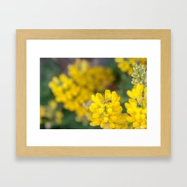 Ladybug in a Yellow Lupin, Dunedin, New Zealand Framed Art Print