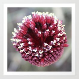 Macro of Round-Headed Leek Flower Allium Sphaerocephalon Art Print
