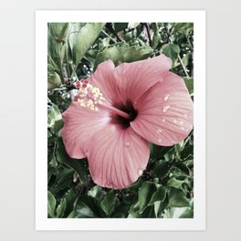 Muted Hibiscus Art Print