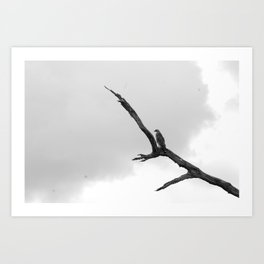 Red-shouldered Hawk B&W Art Print