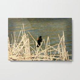 Red Winged Blackbird on Marsh Grass Metal Print