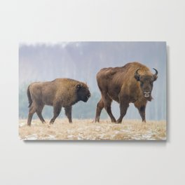 Cow and a calf Metal Print