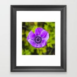 Purple poppy Framed Art Print
